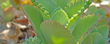 Byrophyllum bei Kinderwunsch